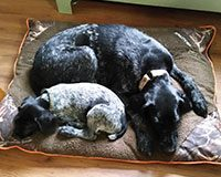 photo-german wirehaired pointer and mom and pup-mom-pup