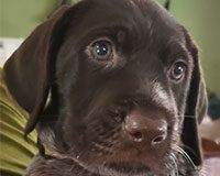photo-german wirehaired pointer pup-pupppy-head