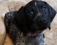 phoGerman Wirehaired Pointer puppy quizzeled
