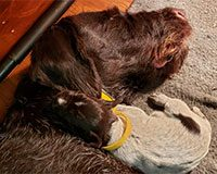 German Wirehaired mom and puppy