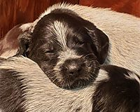German Wirehaired Puppies Sleeping