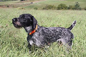 German Wirehaired Pointer, VC Thunderhill's Flint, Available stud