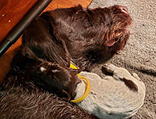 German Wirehaired Mother with puppy