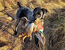 German Wirehaired retrieving a pheasant