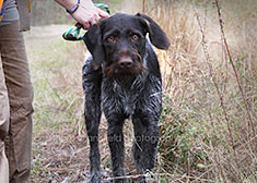 German Wirehaired named Oden
