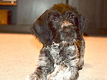 German Wirehaired puppy