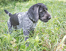 German Wirehair puppy pointing