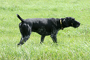 Birco German Wirehaired Pointer Available Stud