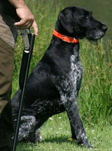 Birco German Wirehaired Pointer stud