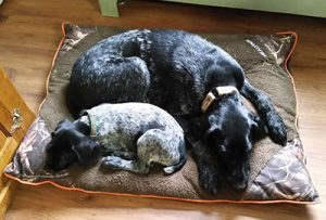 German Wirehaired Pointer, mom and puppy asleep on bed