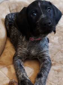 German Wirehaired Pointer Puppy