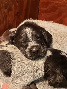 German Wirehaired Pointer sleeping puppies