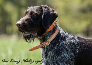 Dexter German Wirehaired available stud