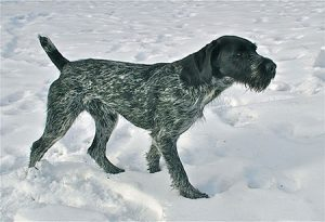 Flint German Wirehaired breeding available stud