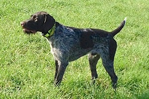 Cosmos German Wirehaired pointer available stud