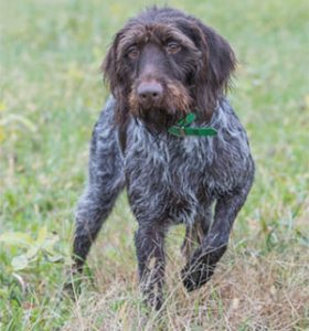 Schwarzwald's Daisy a German Wirehaired Breeding Female