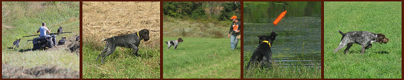 Pointer training including, conditioning, obedience, steadiness, water and finished gun dog