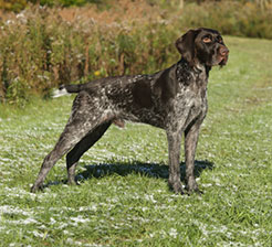German Wirehaired Pointer, Schwarzwald's Distilled Zebulon Pike aka. Zeb